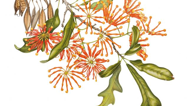 An illustration of Stenocarpus sinuatus by Angela Lober