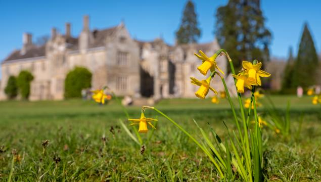 Daffodils in bloom at Wakehurst
