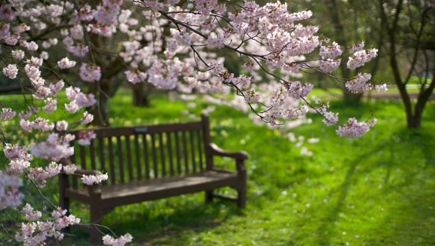 Prunus subhirtella 'Spring Cherry'