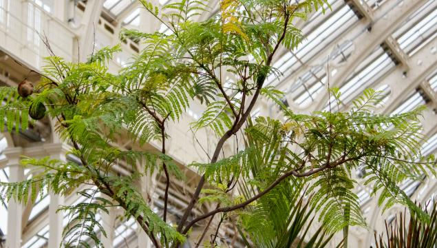 Jacaranda mimosifolia, Jake Newitt RBG Kew