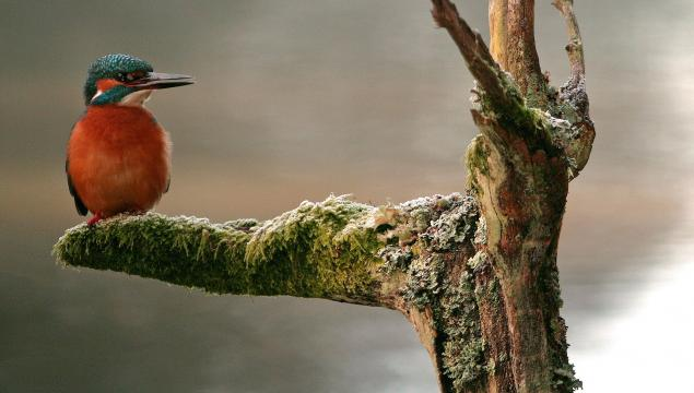 A kingfisher waiting in a tree for a catch