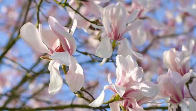 Willow-leafed magnolia