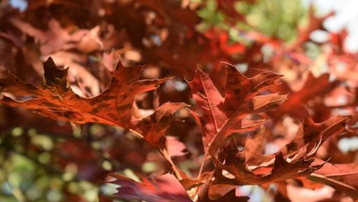 Oak tree at Kew
