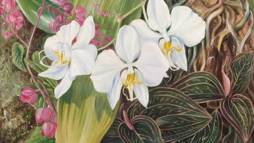 Phalaenopsis amabilis (L.) Blume, painted by Marianne North.
