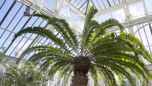 Encephalartos woodii in the Temperate House