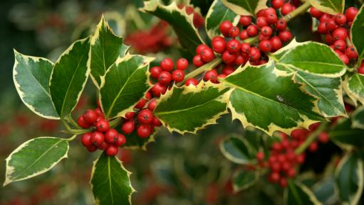 Holly berries at Kew