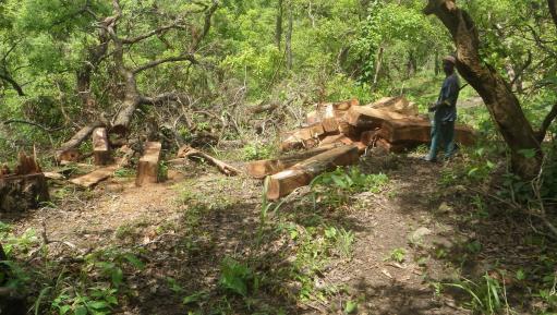 P. erinaceus logs felled in Sierra Leone (Image: X. van der Burgt)