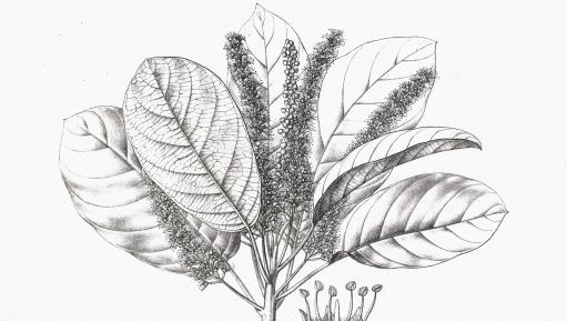 Pen and ink drawing of Terminalia chebula