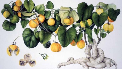 Vicki Thomas artwork Adenia hastata in Exotica exhibition
