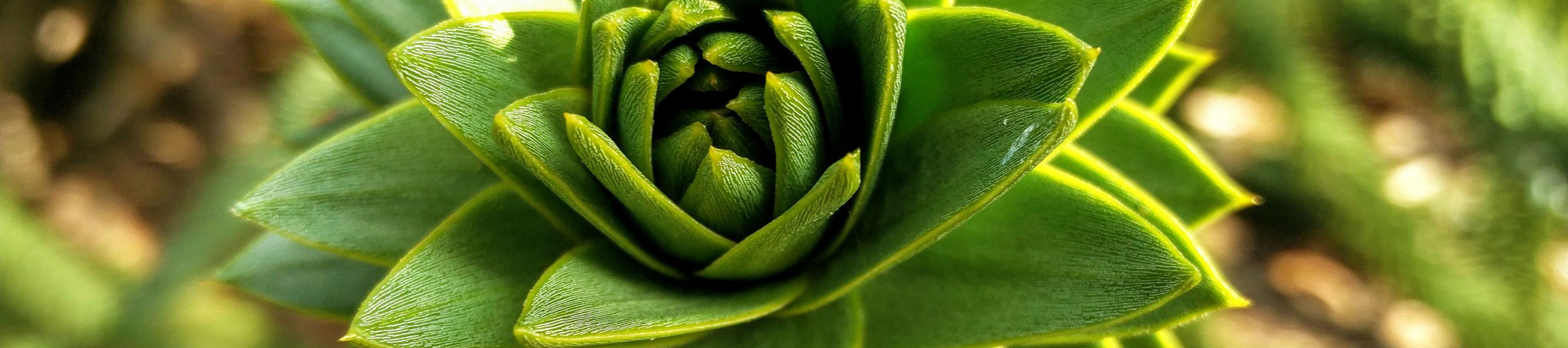 Close-up of monkey puzzle tree's spiralled leaves