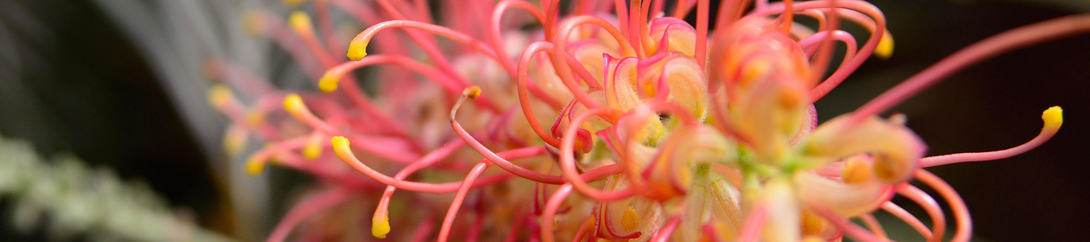 Grevillea 'Coastal Sunset'
