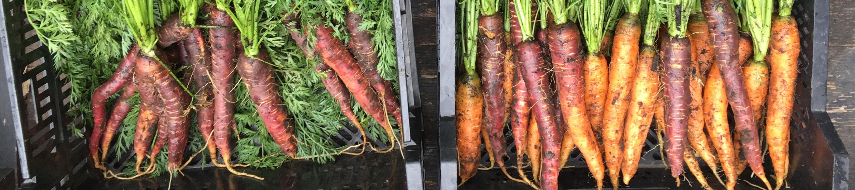 Carrots fresh out of the first
