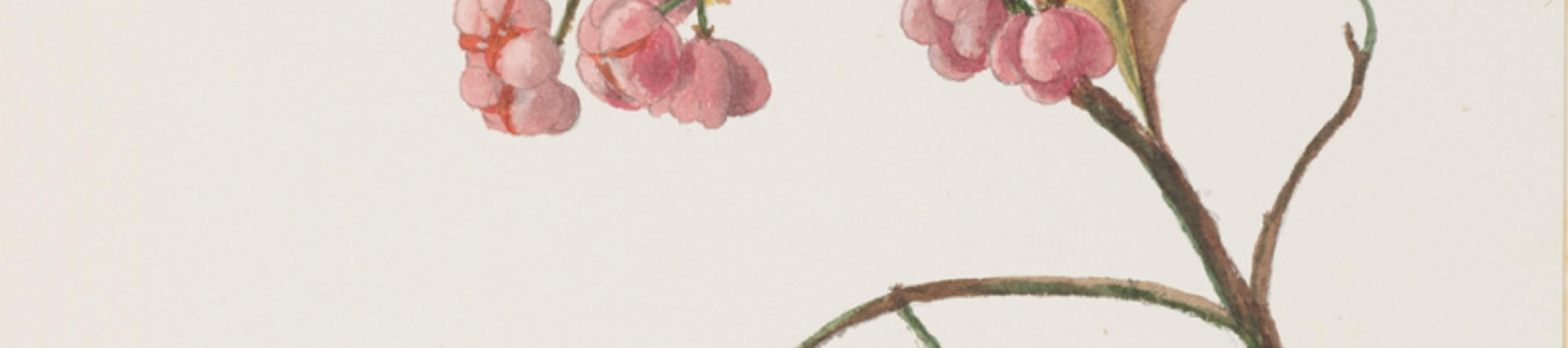 A watercolour of Euonymus europaeus (European spindle) by Mary Anne Stebbing (c1845 –1927)