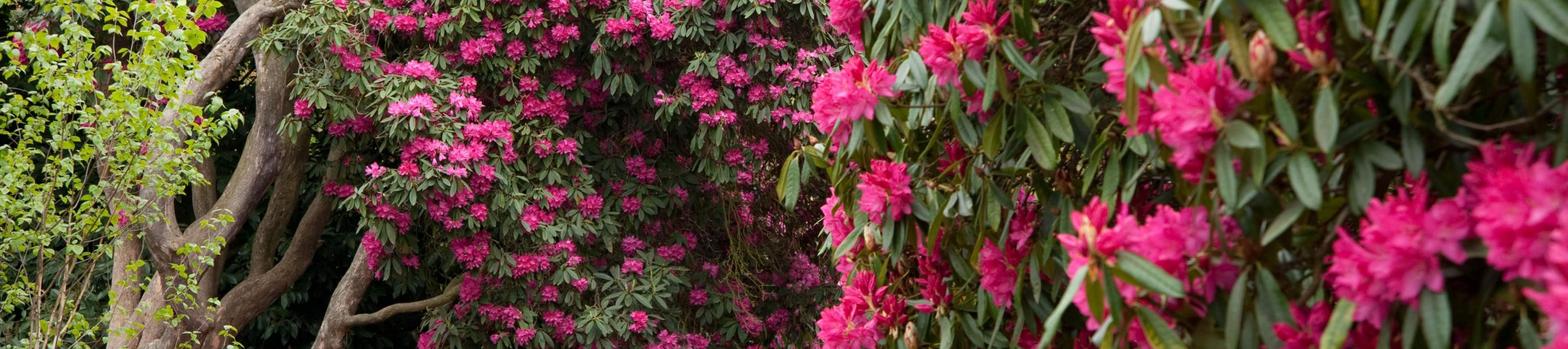 Rhododendrons in full bloom at Kew