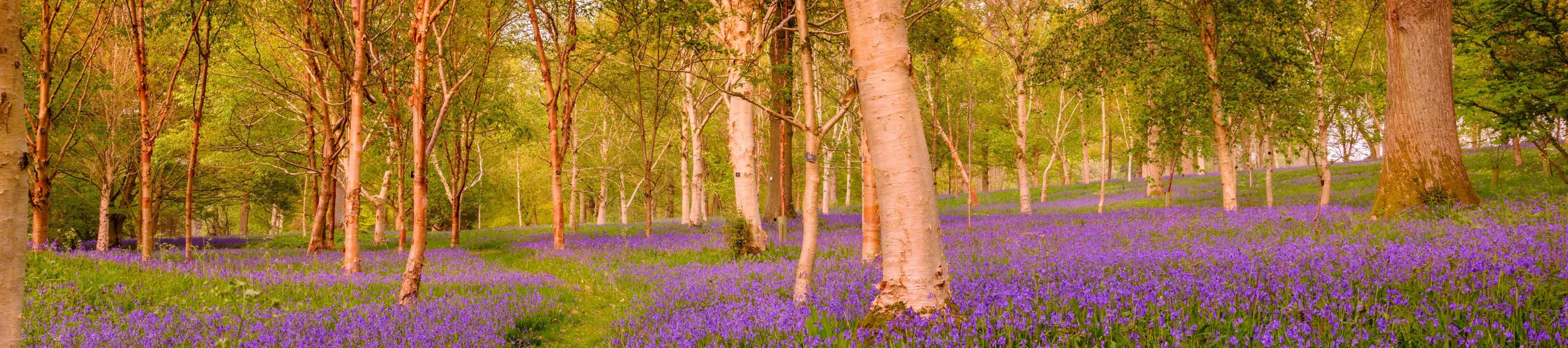 Bluebells and birch trees at Wakehurst
