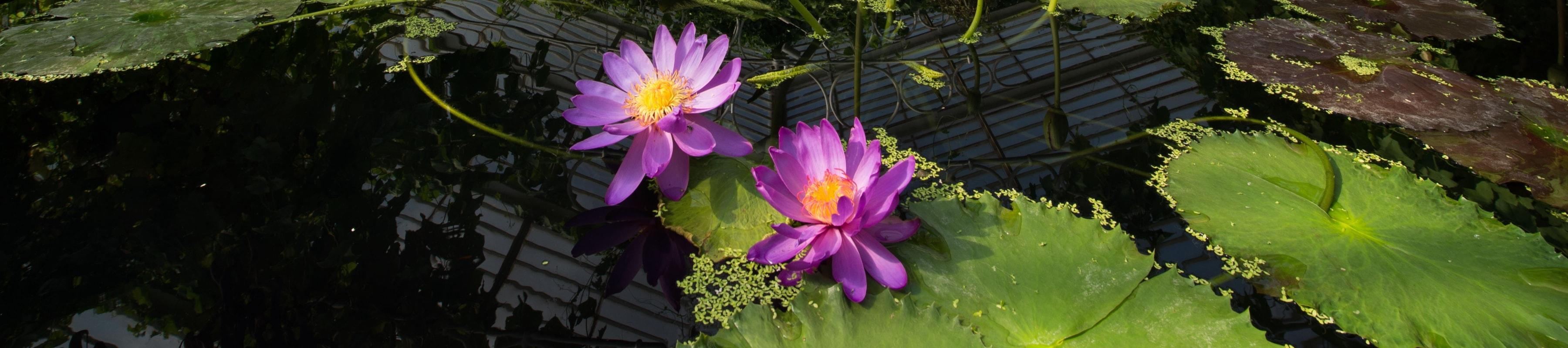 Purple waterlilies in the Waterlily House pond