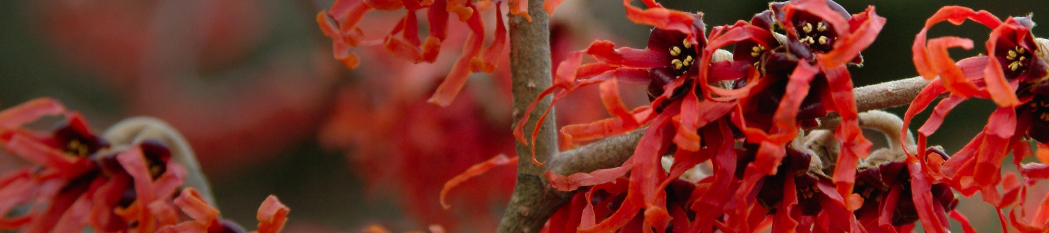Bright red witch hazel