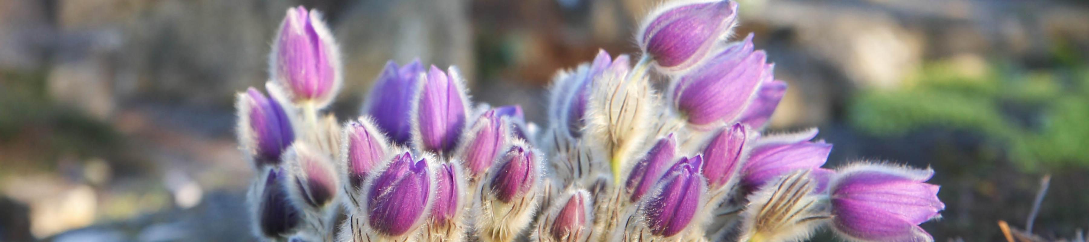 Pulsatilla or pasqueflower