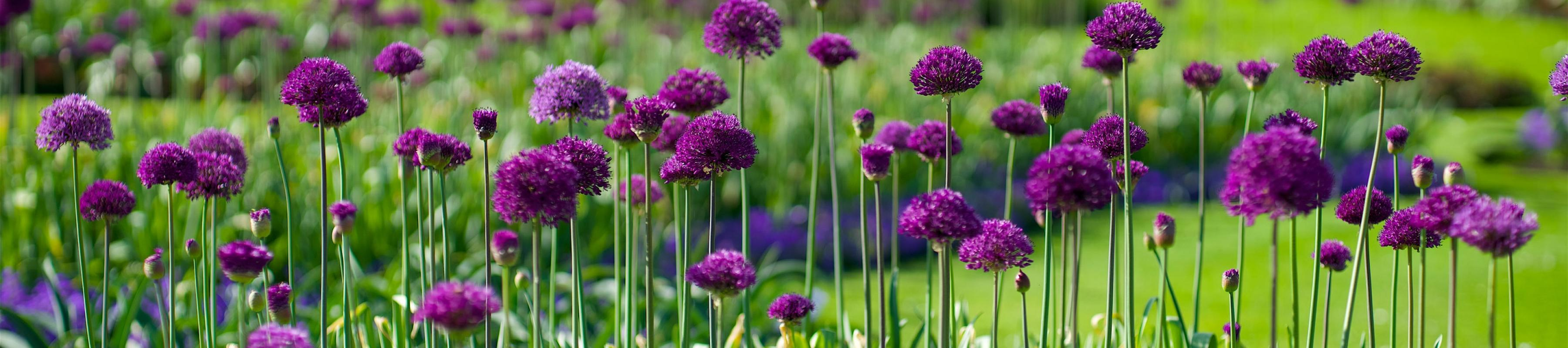 Alliums in Spring