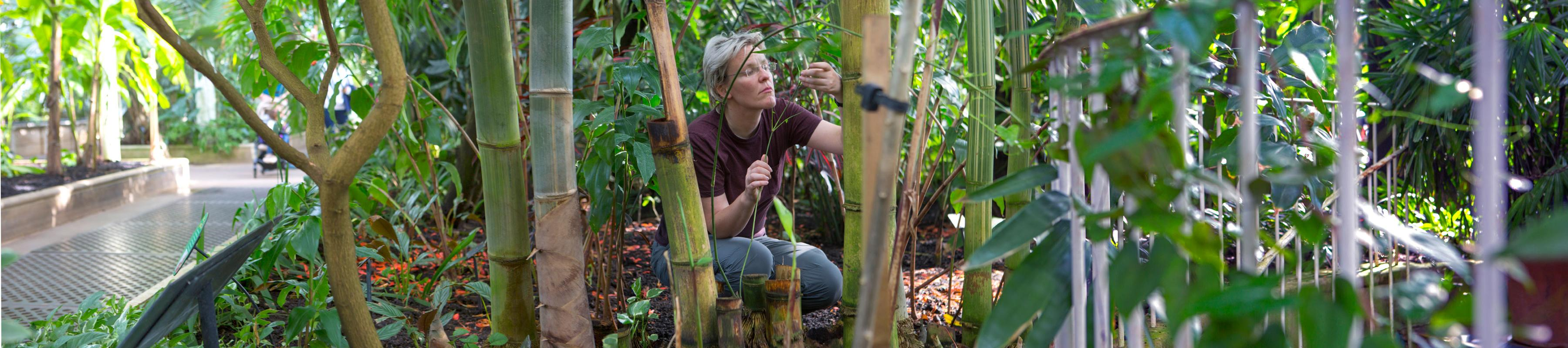 Researcher in Palm House looking at Bamboo