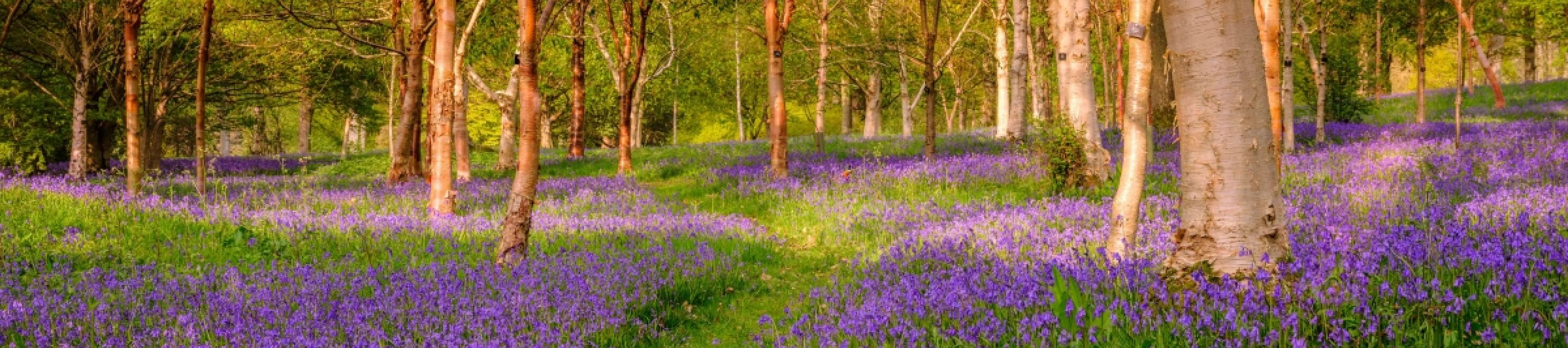 Bluebells  in Bethlehem wood, Wakehurst