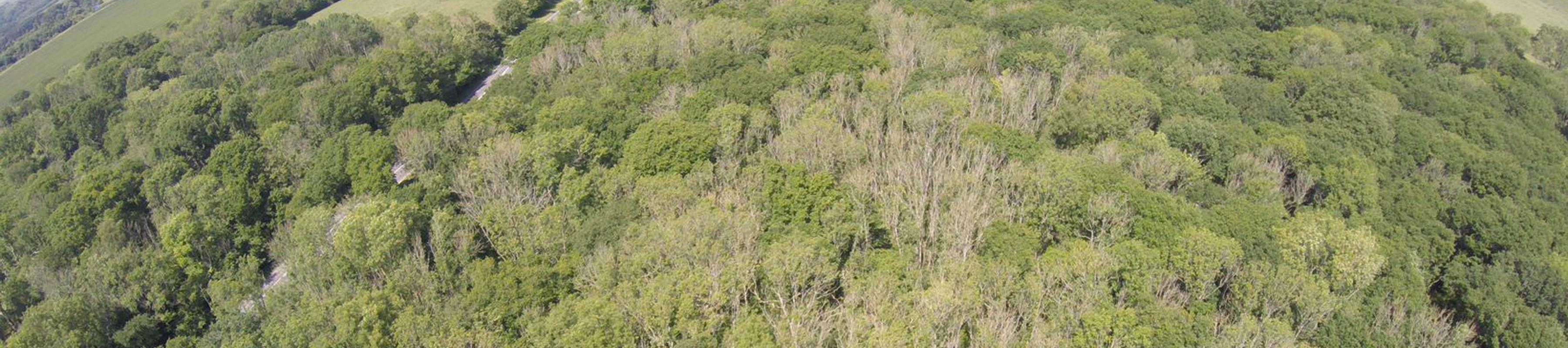 Drone image of Kent woodland with trees infected by ash