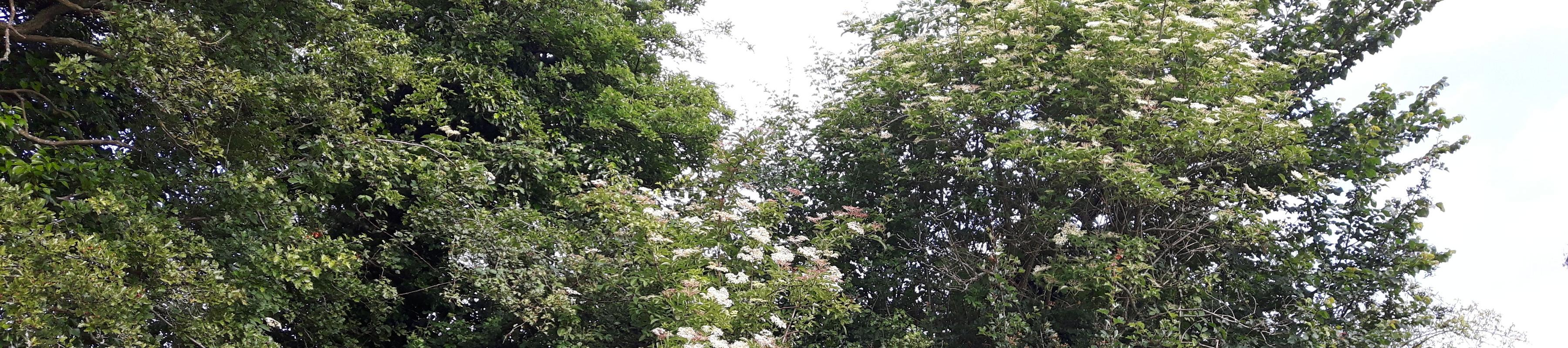 Elder trees in bloom
