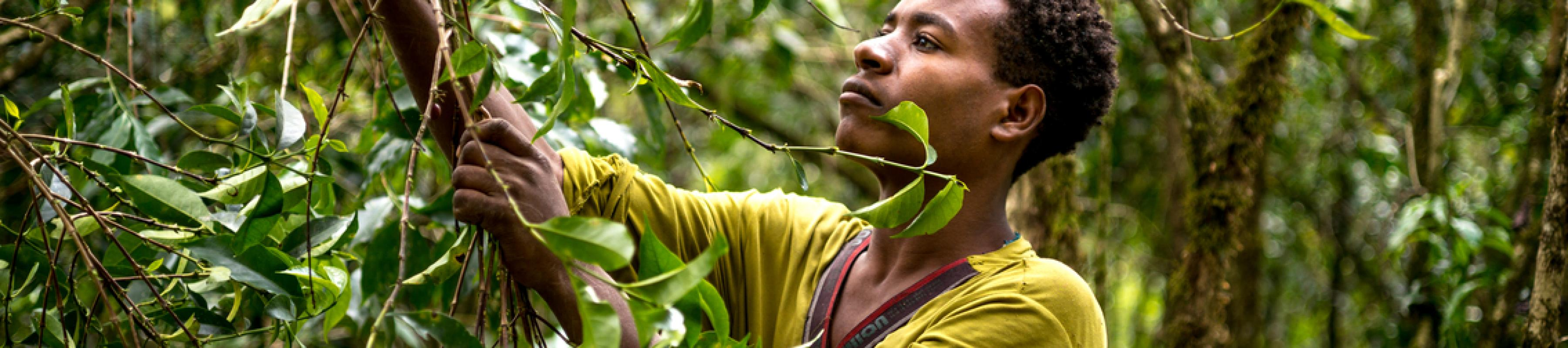 A man harvesting coffee in Ethiopia