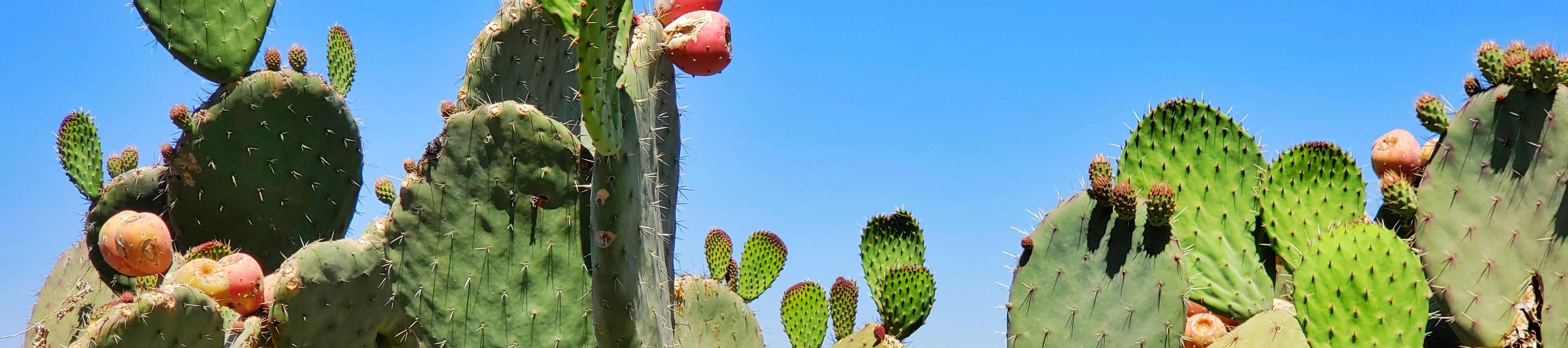 Close up of prickly cacti under a blue sky