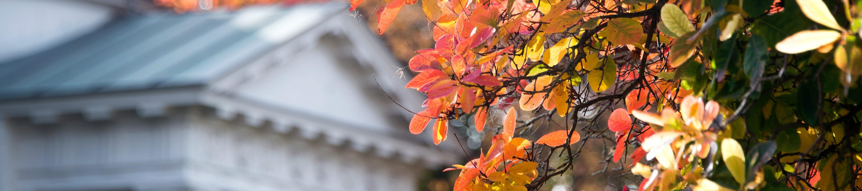 Autumn leaves of American smokewood (Cotinus obovatus) in front of Temple of Bellona at Kew Gardens