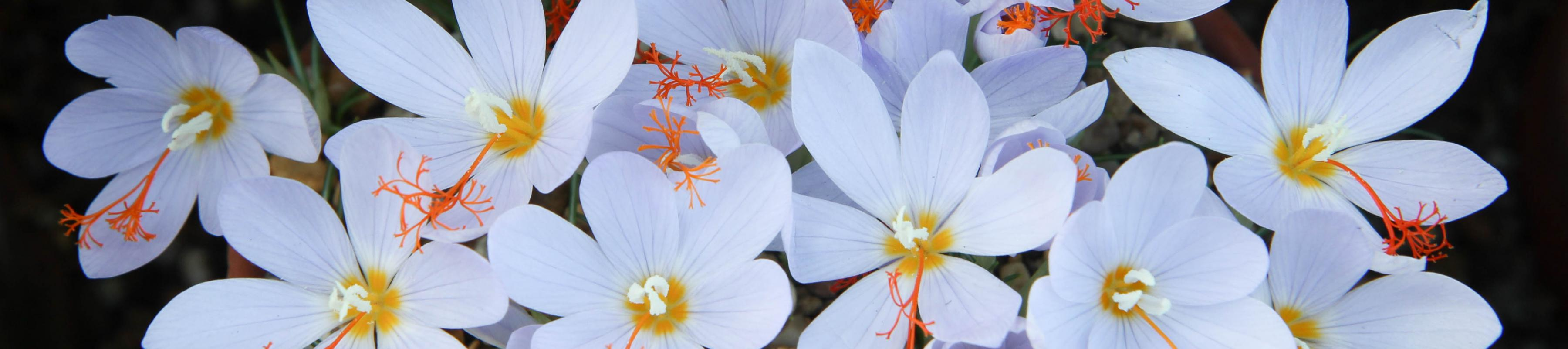 Close up of Crocus tournefortii in our Davies Alpine House