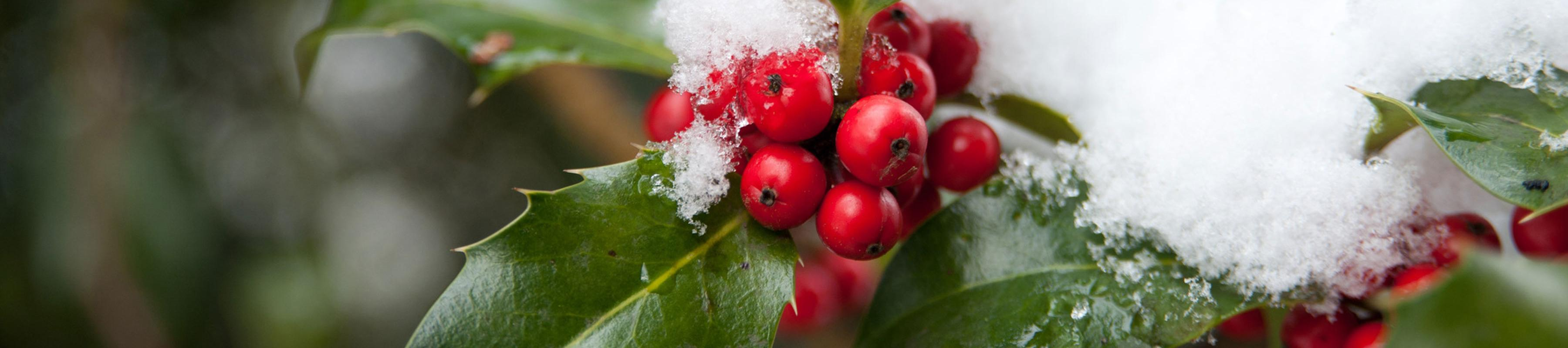 Holly leaves and berries with snow