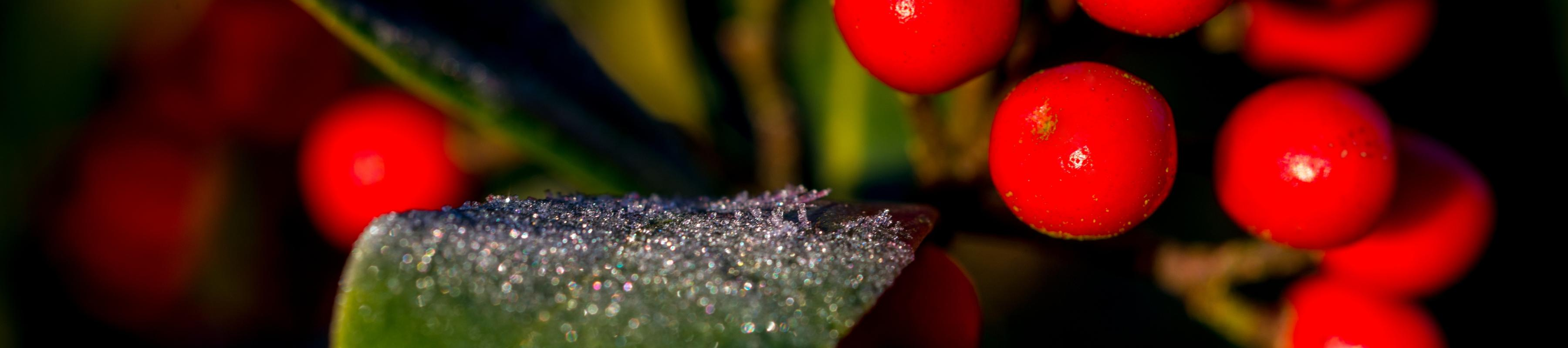 Close up of red winter berries and frosted leaf