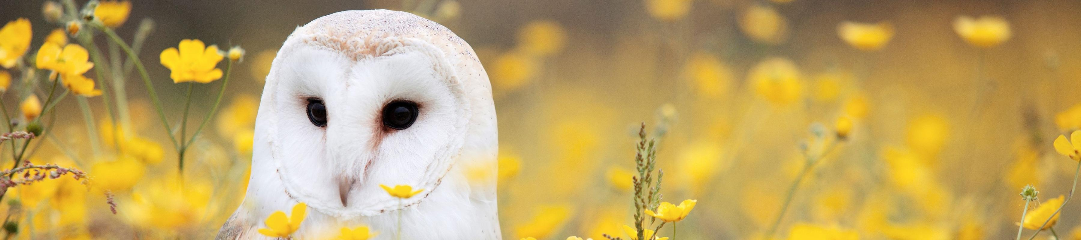 Close up of barn owl (Tyto alba)