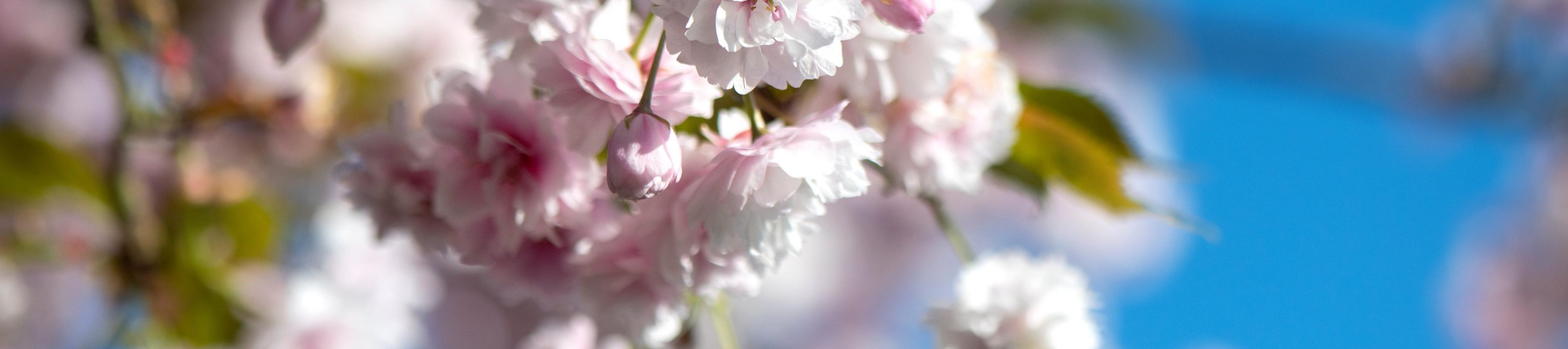 Cherry blossom on branches in spring