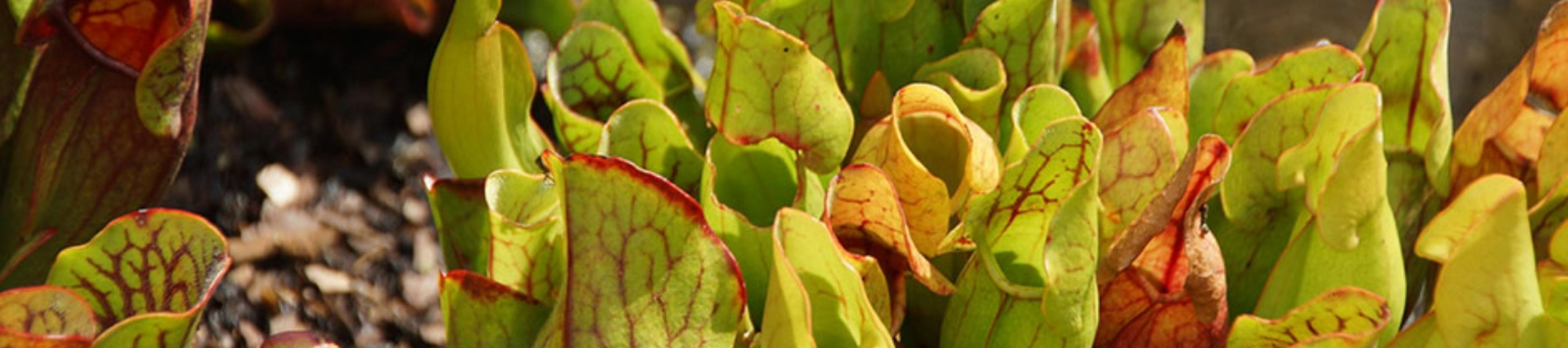 Modified, tubular leaves with hooded open lids of the purple pitcher plant