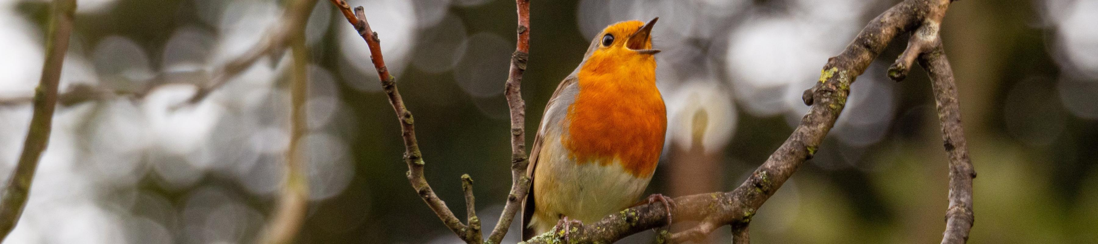 Robin singing in spring