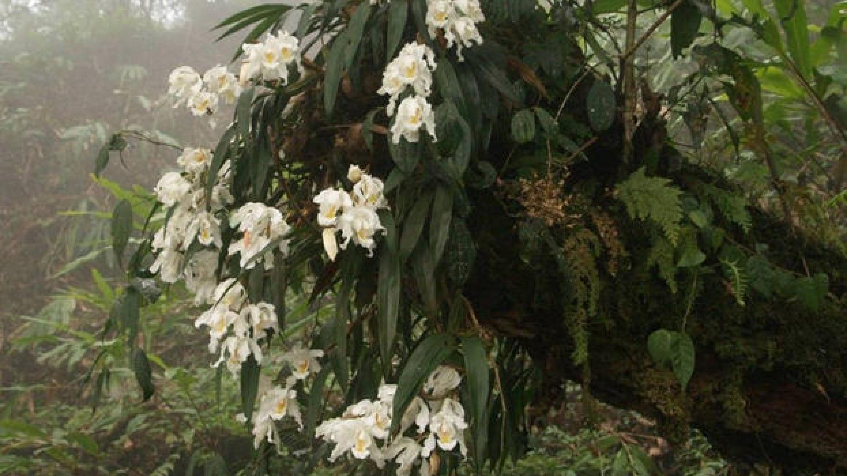 Orchid Treasures Of The Sikkim Himalayas Kew