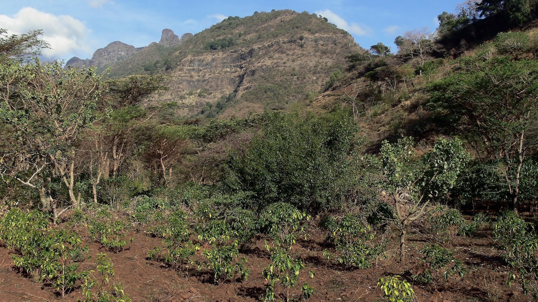 A coffee plantation in Ethiopia
