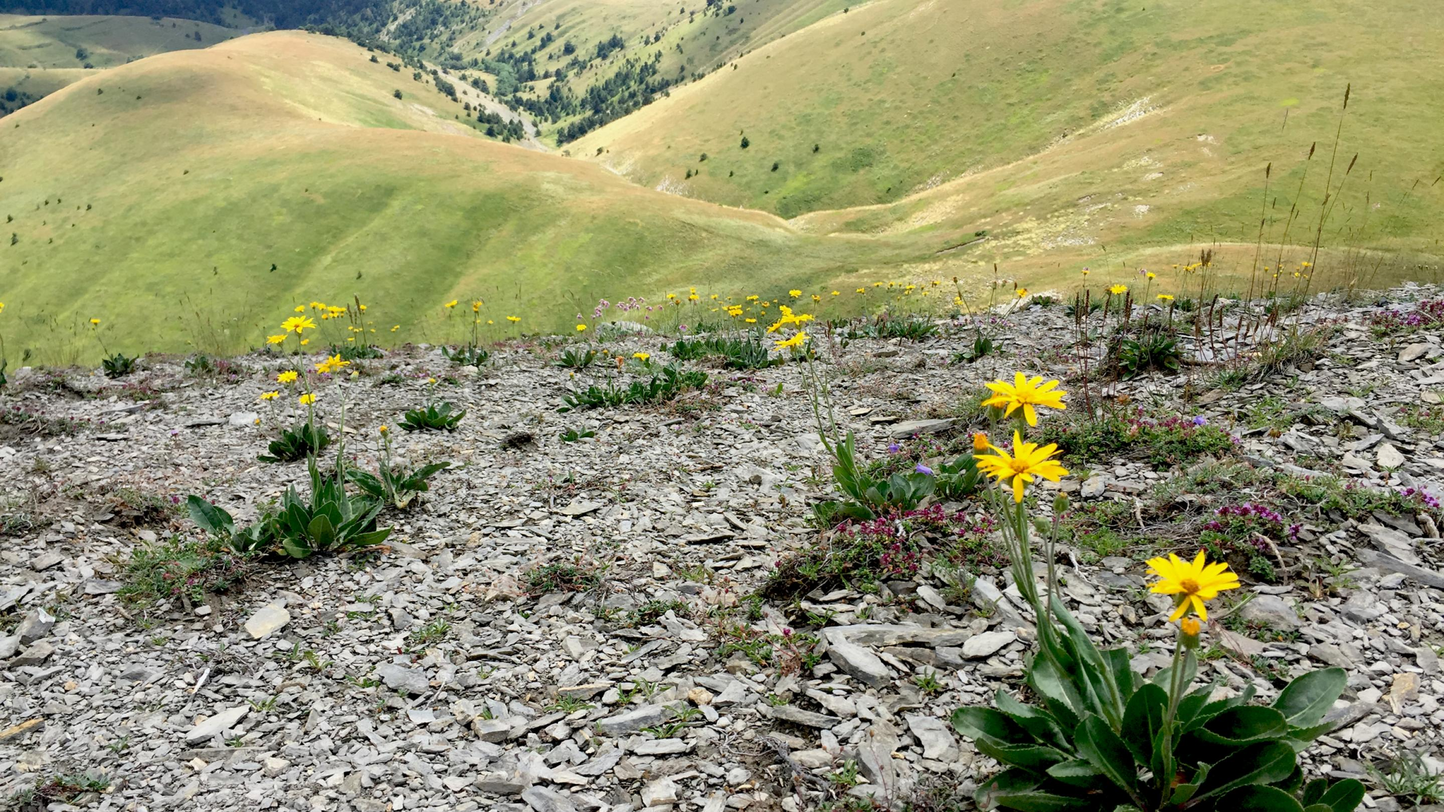 Asteraceae growing in the Alps