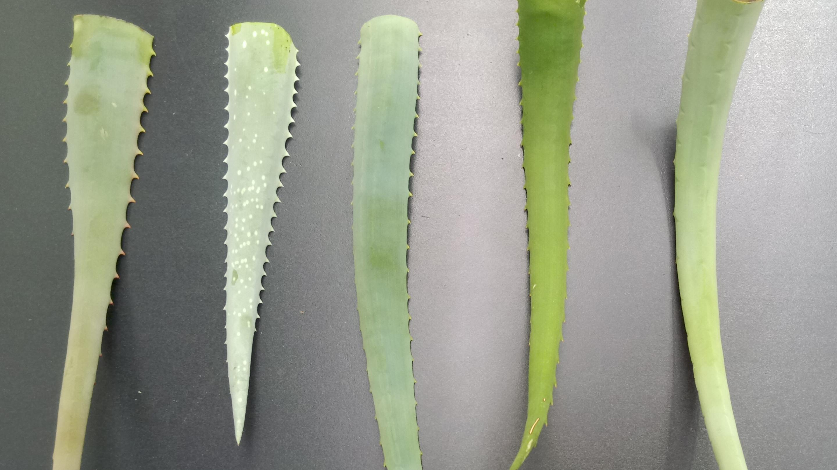 Image showing Leaves of five different Aloe species, could you tell them apart? From left to right: Aloe arborescens, A. aageodonta, A. porphyrostachys, A. nyeriensis and A. megalacantha