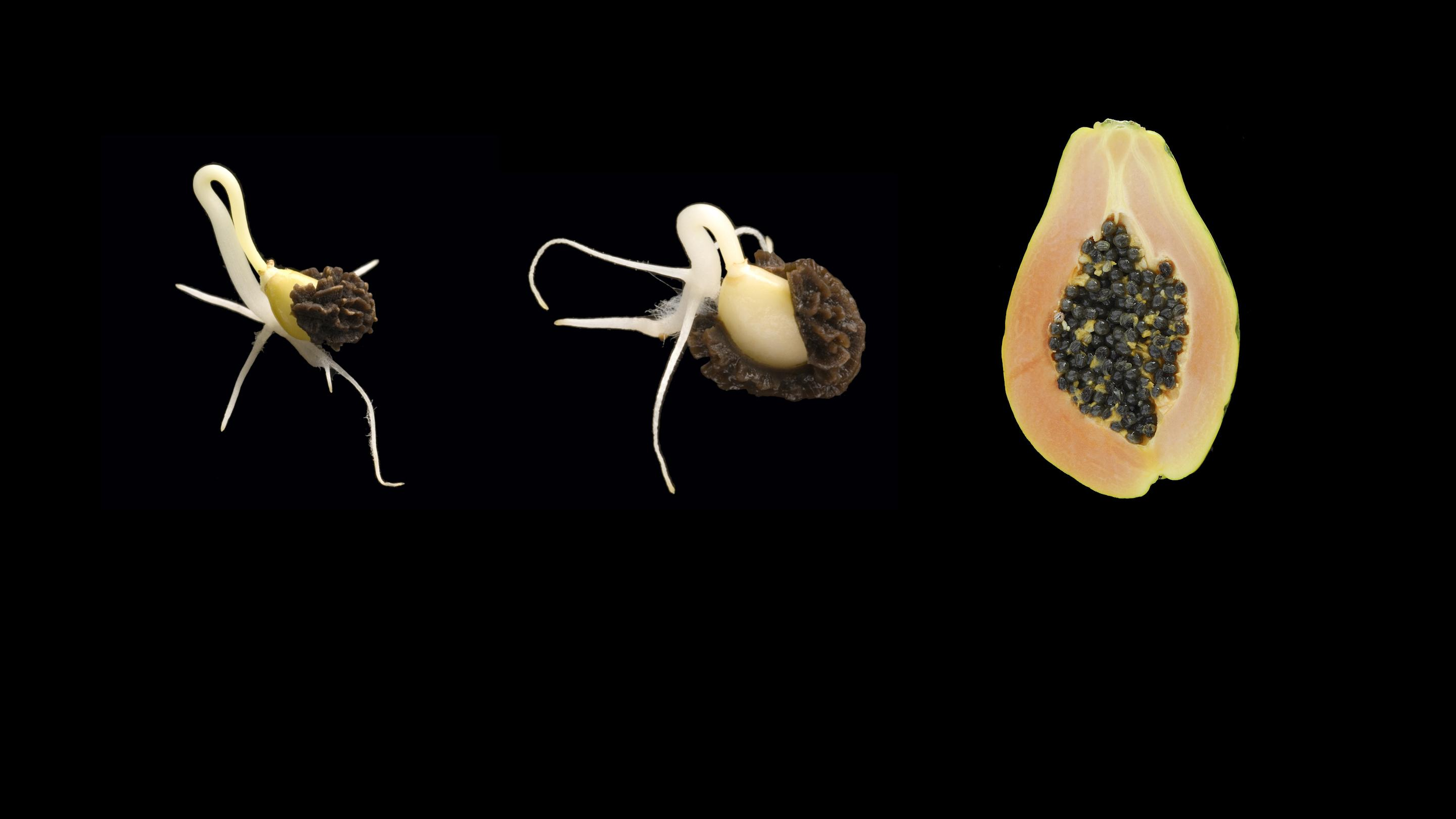 Fruit and germinating seed of Carica papaya