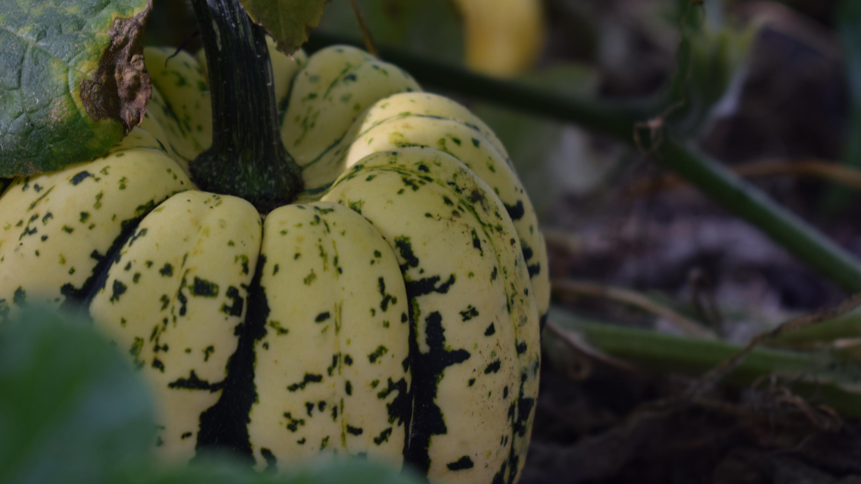 Pumpkin in the Kitchen Garden