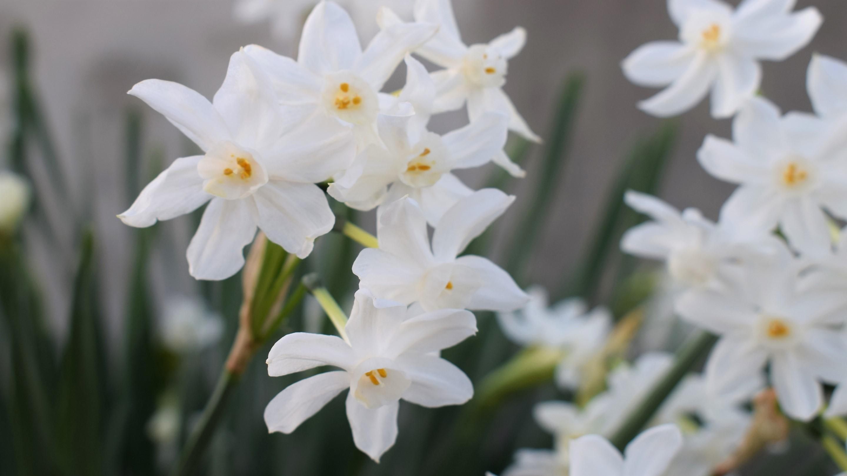 Daffodils in the Davies Alpine House