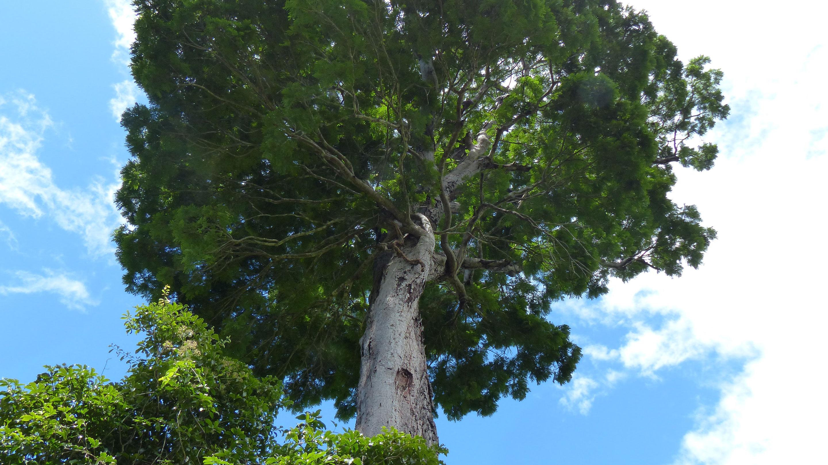 The specimen tree of Dinizia jueirana-facao from which the collection designated as the type was prepared (Photo © G.P. Lewis)