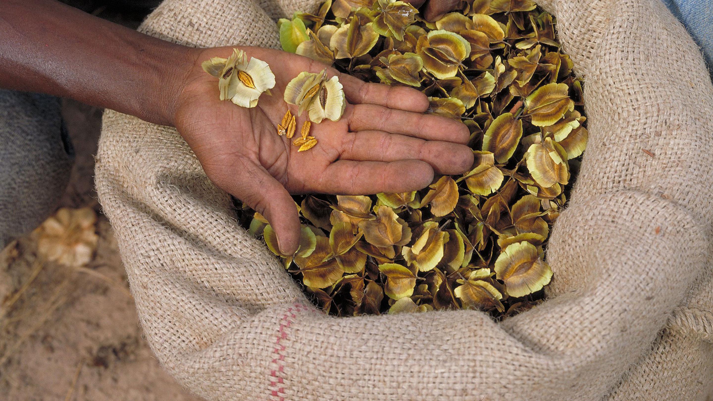 Combretum fragrans seeds