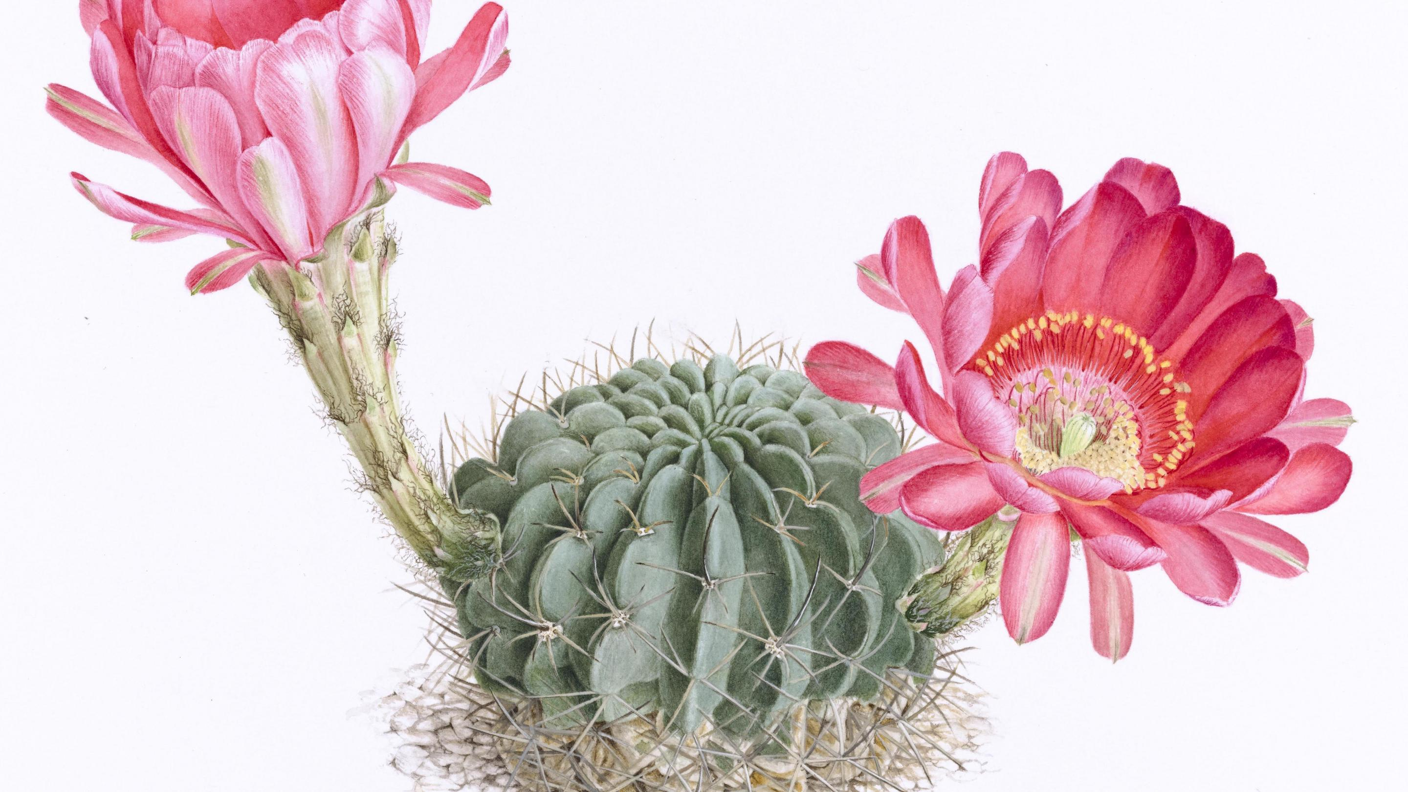 Echinopsis ancistrophora painted by the Margaret Mee Fellowship Programme 2016 Artist Scholar, Alessandro Candidô