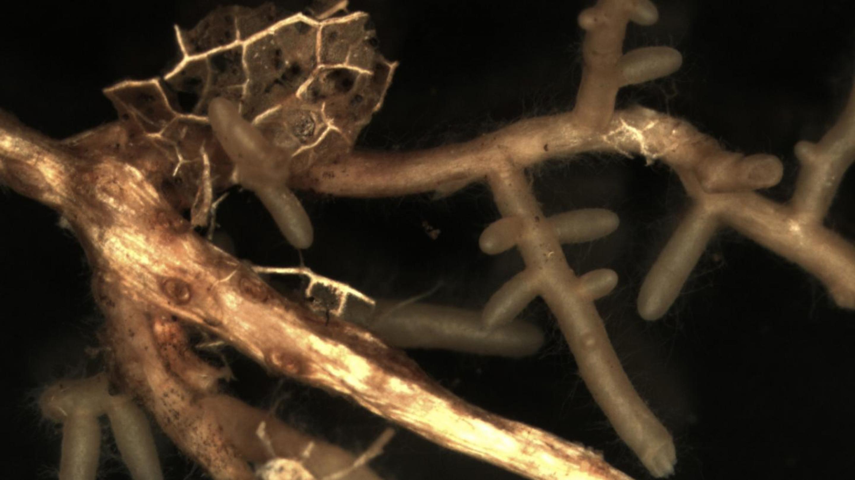 Mycorrhizas of false truffles (Elaphomyces sp.) (Image: RBG Kew/Laura Martinez-Suz)