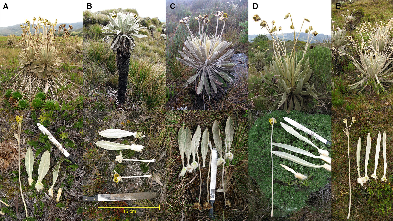 Comparison of similar Espeletia species (E is E. praesidentis).