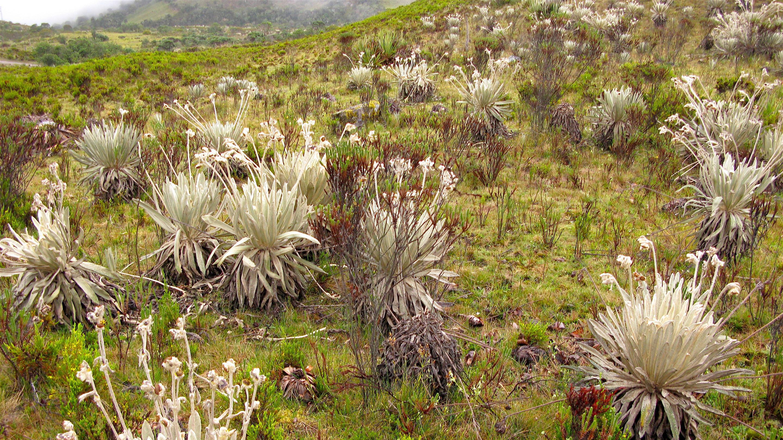 Espeletia praesidentis named in honour of Colombian President Juan Manuel Santos